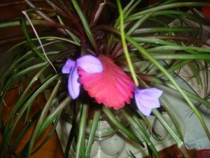 Interior Decorating: Tillandsia cyanea